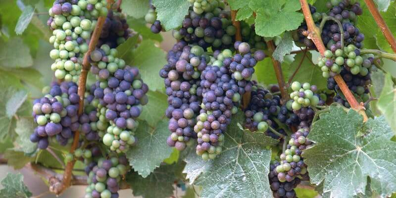Feast on the Most Exotic Wines of Oldest Grape Variety Pinot Noir